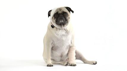 Injured pug dog in bandages