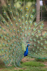 Peacock with Spread Tail