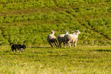 Sheepdog herding running sheep