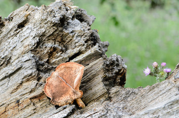 Wild mushroom on the trunk of a fallen tree II