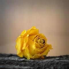 Trockenblume Rose auf Holz