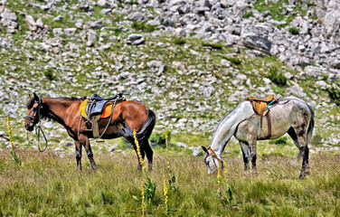 Two Horses from the mountain from Macedonia