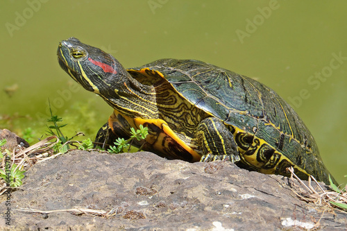 Foto op Canvas Schildpad water turtle portrait