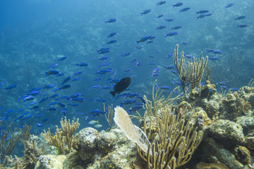 School of creole wrasse