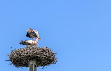 Weißstörche klappern im Nest