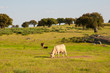 Cows in the meadows in Extremadura, Spain