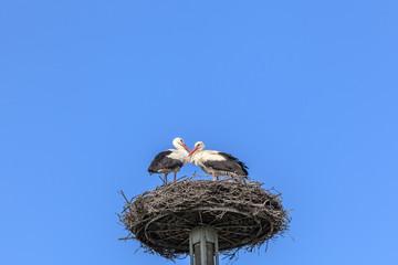 Paar Weißstörche im Nest vor blauem Himmel