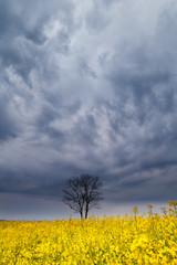 dramatic storm sky over tree and rapeseed flower