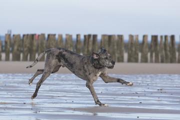 Deutsche Dogge, outdoor, Strand und Wiese