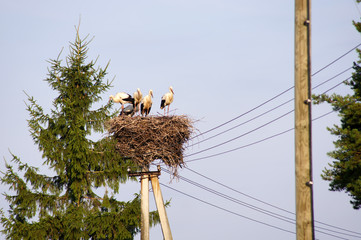 White storks (ciconia ciconia) famly. Tired...