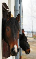 Pferd blickt aus dem Stall