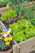salades dans carré potager