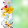 fleurs de frangipanier sur fond nature