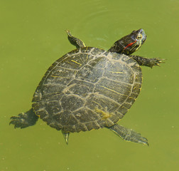 water turtle in the marsh
