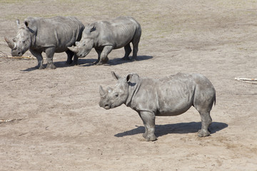 Three white rhinoceros or square-lipped rhinocero