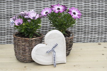 spanish daisy flowers on wooden background