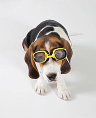 cane aviatore