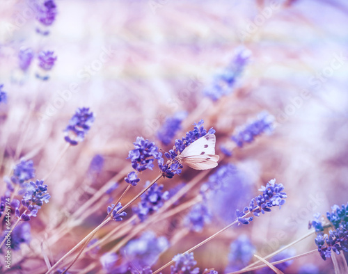 White butterfly on lavender - 64445774