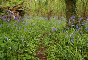 Footpath in the Bluebells Forest