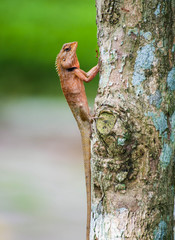 orange lizard sitting on tree in the natural habitat