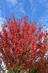 érable autumn blaze