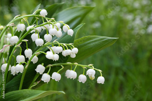 Foto op Canvas Lelietje van dalen Lily of the valley