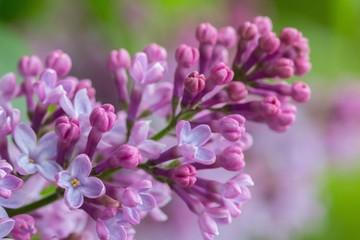 Syringa vulgaris lilac flower