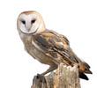 Barn Owl - 64448190