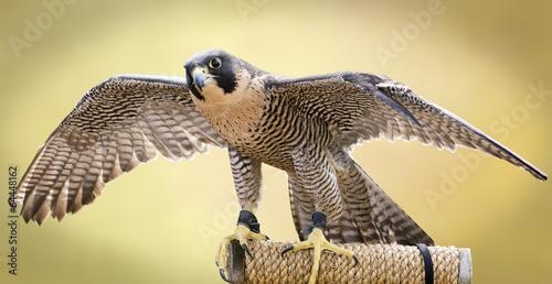 Plexiglas Vogel Peregrine Falcon