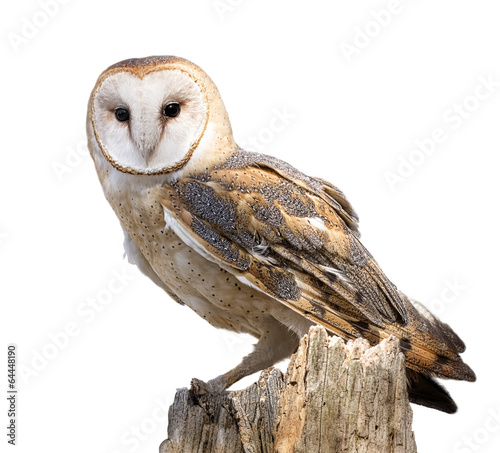 Deurstickers Vogel Barn Owl