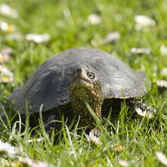 Żółw błotny na łące