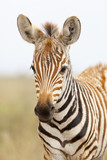 Zebra Portrait in Kenya
