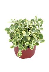 helichrysum panaché