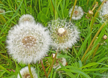 Seed heads of dandelions in a meadow