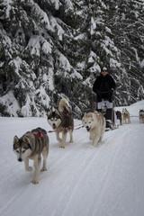 Promenade avec chiens de traineau