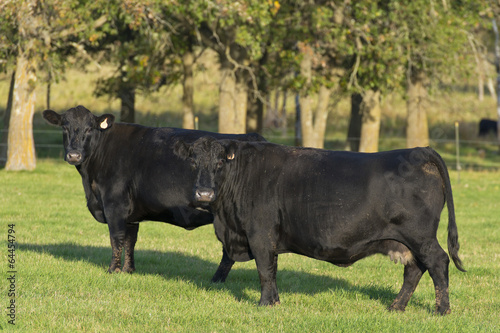 Fotobehang Koe Black Angus Cattle