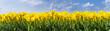 canvas print picture - Gelbe Tulpen