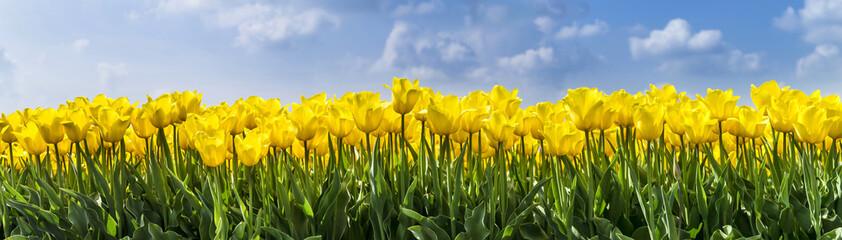 fototapeta żółte tulipany w kroplach wody