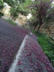 petali rosa