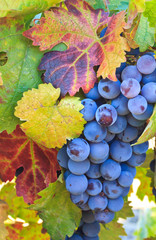 Grapes and colorful leaves in Napa Valley, California, US