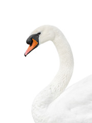 Portrait of a male white swan - isolated