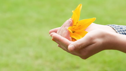 yellow flower lily  in hand with care, showing
