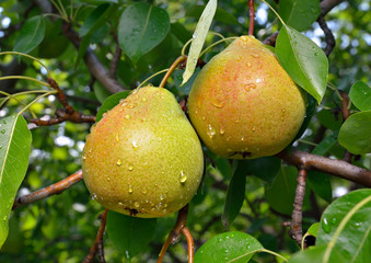Ripe pear on the branch