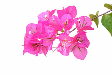 Pink bougainvillea isolated