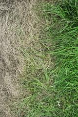 Fresh green grass and yellowed dry grass