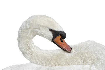 Female white swan grooming after a bath – isolated