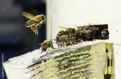 Foto op Canvas Bee Bees entering the hive
