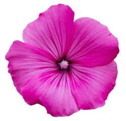 fleur rose lavatère arbustive Flower pink