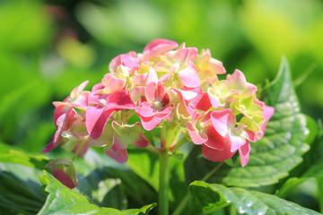 Pink flowers of Hydrangea Hortensia Ajisai plant