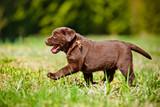 labrador retriever puppy - 64465786